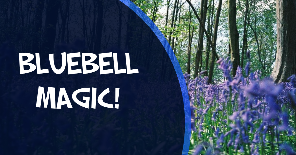 Bluebells in Northern Ireland visit warrenpoint bluebell wood whats the point