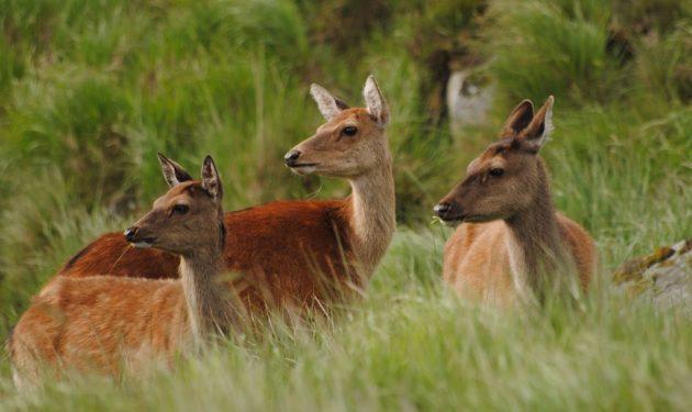 Red Deer in Ireland