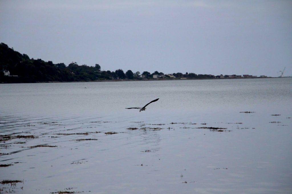 Heron on Carlingford Lough